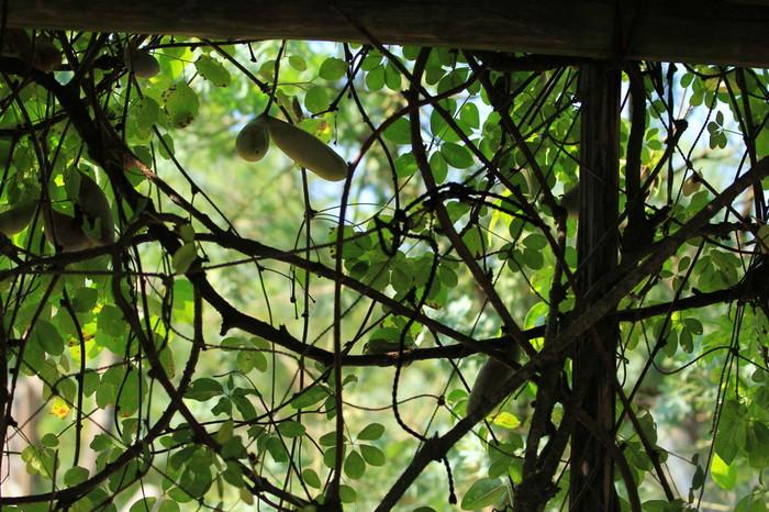 ちなみに、こちらがあけび。山野に自生するツル性の落葉樹で、夏には紫色の甘い実をつけます。採取したあけびのつるを1~2年乾燥させ、編む前に1~2日水に浸けて柔らかくしてから編みます。津軽地方では、農閑期の手仕事として受け継がれてきました。