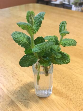 挿し芽でも育つので、スーパーで食用に買ったものから増やすこともできますよ。このように水に挿しておき、根が出たら土に植えましょう。直接土に植える場合は根が出るまで半日陰で育てます。
