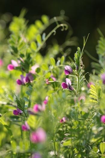 丸い葉っぱが規則正しく伸びるつる、濃い紫色の花が可愛らしいカラスノエンドウ。実は正式名称はヤハズエンドウというマメ科の植物なのだそう。子どもの背丈くらいまで伸びる生命力旺盛な雑草なので、除草ついでに詰んできてさっと生ければボリューミーなインテリアグリーンとして◎。