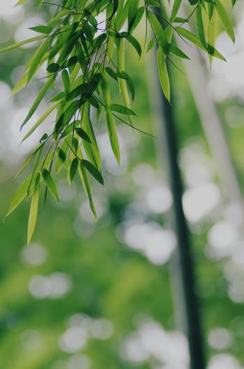 笹は古くから民家の周りで暮らしに根付いてきたイネ科タケ亜科の植物です。地下茎で密集しながら広がるため、除草には根気が必要。シュッとした葉の形や防腐作用から、食器代わりやお部屋のあしらいとしても使えます。