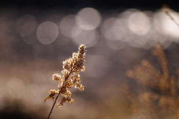 空き地や川沿いに、背の高い鮮やかな黄色の花が密集しているのを見たことはありませんか? セイタカアワダチソウはキク科の外来種で、日本のススキが生えているようなところでしばしば生息域を競い合っています。