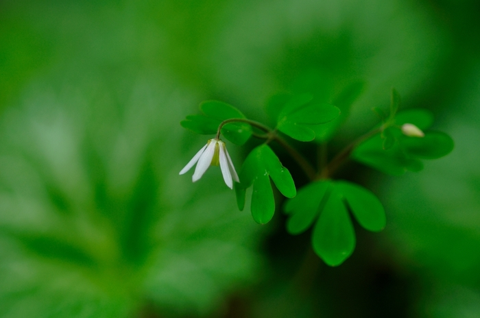 ヒメウズはキンポウゲ科の植物。オダマキの近縁種で花の形も共通点が多いのですが、ごくごく小さい花のため忘れられがち。特徴的な葉の形や俯き加減の儚げな花が魅力的です。カップや小さな一輪挿しにそっと生けて、近くで眺めて楽しむのがおすすめです。