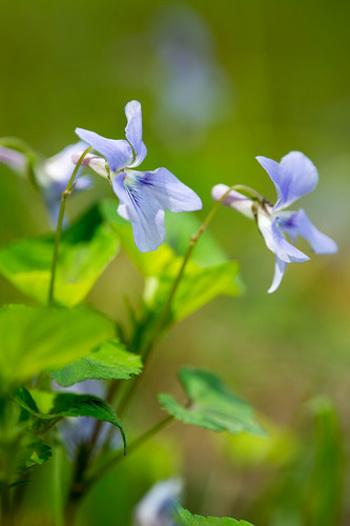 スミレは日本人に馴染み深い野の花ですが、実は多くの種類があります。良く見かけるのはハート型の葉っぱが特徴的で茎が立ち上がるタチツボスミレや、鉾型の細長い葉っぱが特徴のスミレが多いです。写真はタチツボスミレ。 語源とされる「墨入れ(墨壺)」は花の後ろの膨らんだ部分を墨壺に見立てたことから。(諸説あります)