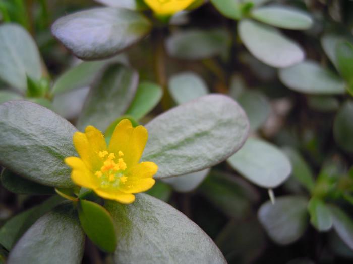 スベリヒユはスベリヒユ科の植物。山形では「ひょう」とも呼ばれます。畑の厄介者として目の敵にされる一方で、食用にされることも。