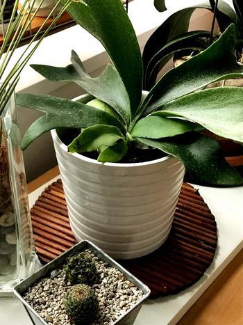 1. 苗を取り出し、根っこについている土をもみほぐし取り除く 2. 水苔を丸めて苔玉を作り、根で苔玉を覆い、その周りを水苔で覆う 3. 鉢の底に軽石や発泡スチロールを敷き、苗を植える 4. そのまま鉢ごと水の中に沈め、水苔に水を吸わせたら引き上げ、半日陰の場所に置く