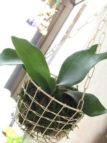 原産国は、アフリカ・マダガスカル・東南アジア・太平洋諸島・オーストラリア・南アメリカの熱帯地域。「ラン」と名前に入っていますが蘭の種類ではなく、種子をつけないシダ植物の仲間で、樹木に着生して育ちます。