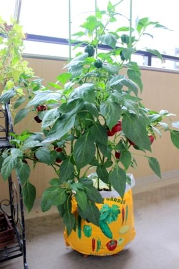 こちらはフルーティーパプリカというパプリカをベランダで育てています。ベランダでもセンスとアイデアで素敵なポタジェガーデンが作れそうですね。
