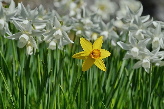 パッと開いた花の形が素敵な水仙ですが、春先の花がない姿は、ニラとよく似ていますが、鱗茎に強い毒性があり、知らずに料理して食中毒を起こすことがあります。