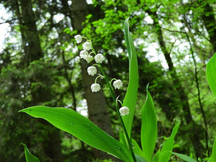 こちらも可愛らしい花をつけるすずらん。春に人気の山菜・行者にんにくとよく似ています。コンバラトキシンという有毒成分を含んでおり、知らずに食べて致死量に至った場合もあるそうです。