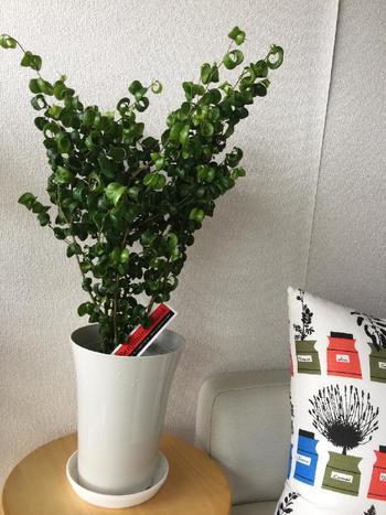 クルンと丸まった葉っぱがかわいらしいフィカス・ベンジャミン・バロック。土が乾いたらお水をあげればOK!緑が濃くて存在感のある植物なので、シンプルなお部屋のワンポイントとしても活躍してくれる植物ですよ。