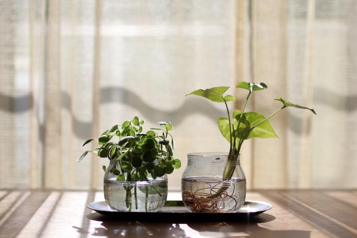 こんな風にトレイに並べても素敵です。水やグリーンの葉や根の様子が見えるので、できるだけ透明感のあるガラス素材を選びましょう。光がキラキラと反射する窓辺に置くとキレイですね。
