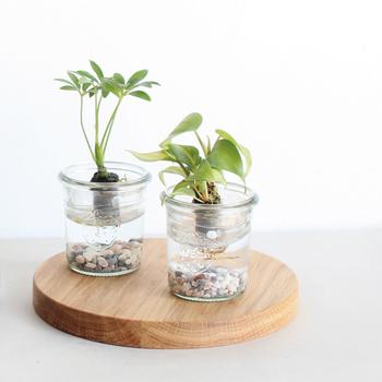 プカプカと水に浮かぶグリーンは、見ているだけで癒されますね。葉菜類やハーブも水耕栽培できるので、キッチンに置いてすくすく育つ姿を楽しむのもいいですね。