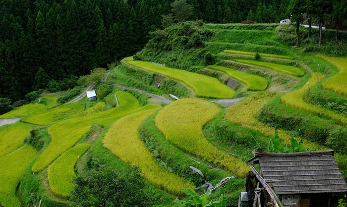 「日本の棚田100選」の一つで、徳島県初の「国の重要文化財景観」に指定された樫原の棚田は、標高500メートルから700メートルの山間部に位置しています。