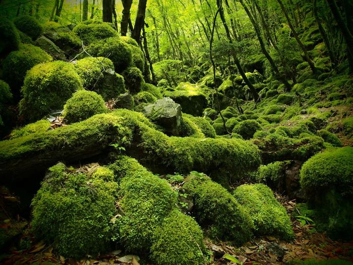標高997.2メートルの山犬嶽は、上勝町のほぼ中央部に位置しています。深緑の樹々と無数に点在する水苔に覆われた巨石が織りなし、山犬嶽は深山幽谷とした雰囲気が漂っています。