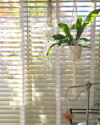 窓際に飾ると、太陽の光をたっぷり浴びたグリーンが綺麗に輝きます。