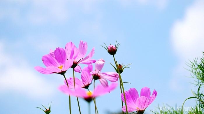 秋の気配を身近に感じるコスモス(秋桜)。東北でのおすすめスポットをご紹介します。