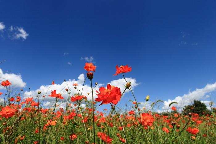 天気のいい日には、青い空と鮮やかなオレンジ色のコスモスの絶景を楽しむことができます。