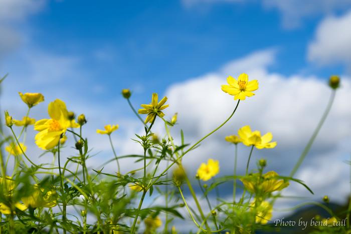 国営みちのく杜の湖畔公園内で数多く咲き誇る「レモンブライト」。レモン色のスッキリとした黄色が青い空と蔵王連峰に良く映えます。