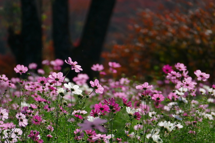 ピンクの濃淡がきれいな可憐なコスモスが咲き誇ります。