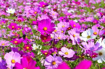 ピンクのグラデーションが美しいコスモスは、秋の訪れを感じさせてくれます。