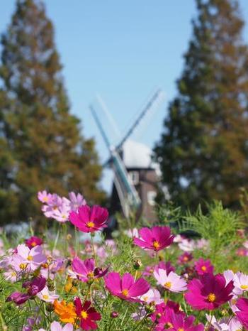 風車をバックにコスモスが咲く素敵な風景が見られますよ。