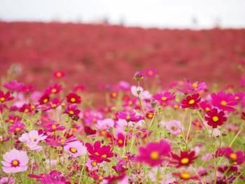 いっぱいに咲き乱れるコスモス。他にもいろいろな草花が咲いているので、遠くに見える花畑を背景に、コスモスを見ることが出来ます。