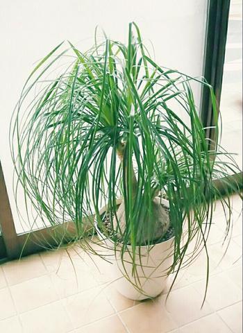 シュッシュとした葉っぱが個性豊かな「トックリラン」も育てやすい植物です。土が乾いたらたっぷりお水をあげるだけ。幹の部分が太いので安定感もあり、丈夫に育ちます。