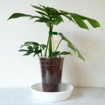 初心者でも育てやすい植物の代表がこの「モンステラ」です。日の当たるところに置いてあげると独自の形をした葉はぐんぐん育ちますよ。