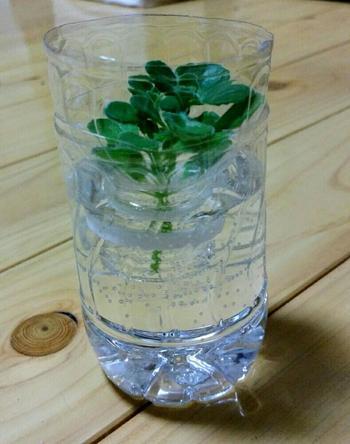 水耕栽培ではお馴染みのペットボトルは、もちろん球根もOK。植物を入れたまま水換えをできるので球根が傷みにくくて◎  ※画像の植物はアロマティカスです。