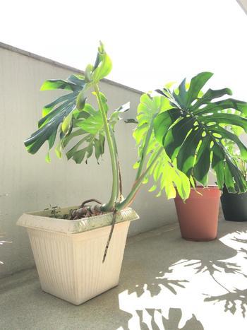 育てていくうちに、茎の方から何やらひょろっと伸びて来るものがあります。これは気根(きこん)というものです。