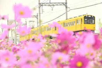 一面ピンクのコスモスに、黄色い電車の色合いが可愛らしく幸せな気持ちになりますね。