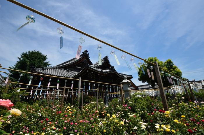 バラ園があることでも有名なおふさ観音。バラは年中楽しめるので、風鈴まつりでも「バラの上で揺れる風鈴」という光景を見ることができます。