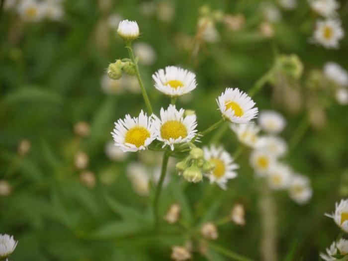 """お庭やベランダだけではなく、道端にもかわいい夏の草花はたくさんあります。この小さな白いお花「ヒメジョオン(姫女菀)」は、""""小さい女帝""""という意味があるそうです。"""