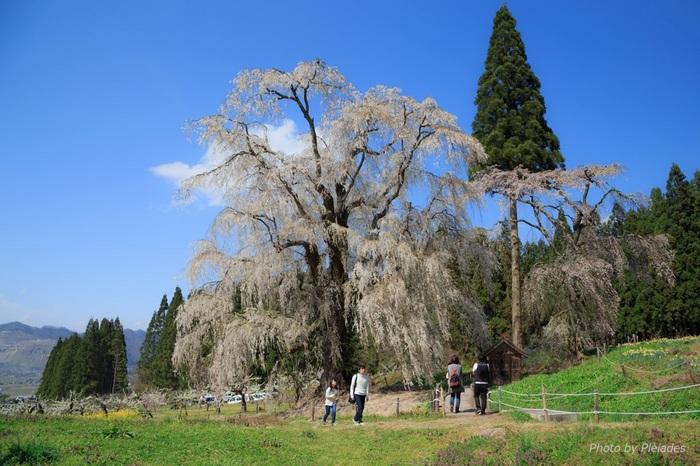 高山村は、桜の名所としても知られています。村内には、多くの枝垂桜があり、春が訪れる頃、美しい姿へと変貌します。