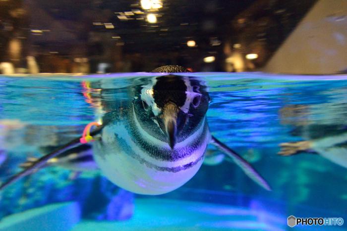 すみだ水族館の魅力は、生きものとの距離が近いこと。大きなペンギンプールでは、目の前をゆったりと泳ぐペンギンたちを間近に見ることができます。 ここで生まれた赤ちゃんペンギンの愛らしい姿を見ることもできるんですよ。  全体的にスペースがゆったりしているので、ソファに座って心ゆくまで楽しむのもおすすめです。