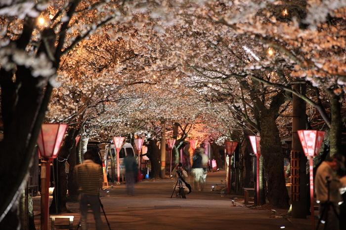 がいせん桜通りは、日露戦争の勝利を記念して明治39年に植樹された桜並木が続いています。5.5メートルの等間隔で植えられた132本の桜並木は、春になると街道を覆うピンク色のトンネルへと変貌します。