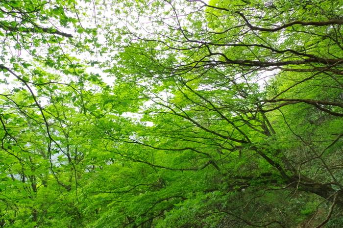 鬱蒼と生い茂るブナの原生林から、木漏れ日がやさしく差し込み、毛無山麓でハイキングを楽しみながら森林浴をしてみるのもおすすめです。