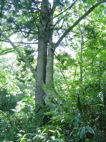 毛無山麓では、ブナの原生林が豊かに生い茂っており、毛無山ブナ林は「水源の森百選」に選定されています。
