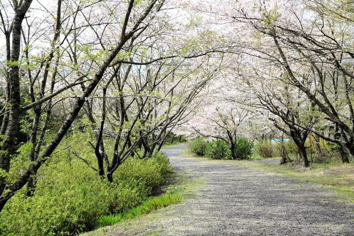 隠岐神社は、桜の名所としても知られています。参道は桜並木となっており、春が訪れると大勢の花見客で賑わいます。