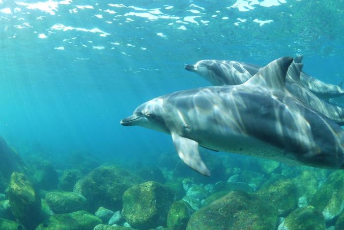 御蔵島周辺に多く生息しているミナミハンドウイルカは学名を「Tursiops aduncus」と言います。漢字表記では「南半道海豚」で、ハクジラ亜目マイルカ科ハンドウイルカ属に属し、ミナミバンドウイルカとも呼ばれています。