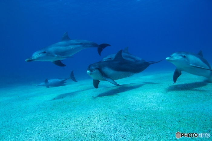 ミナミハンドウイルカは10頭から20頭程度で群を成すことが多く、オーストラリア付近の南太平洋やインド洋など世界の熱帯海域など広く分布しています。