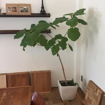 部屋の隅も、ウンベラータを置くだけでおしゃれに。 葉のしっかりしたものを選ぶと良いでしょう。