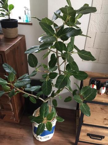 緑の濃い生命力あふれる観葉植物にしたいなら、ベンガレンシスがおすすめ。 基本的にどんなお部屋にも合いますが、より北欧風にしたいときは、プランターの上から麻などでできた布カバーをかぶせてみましょう。