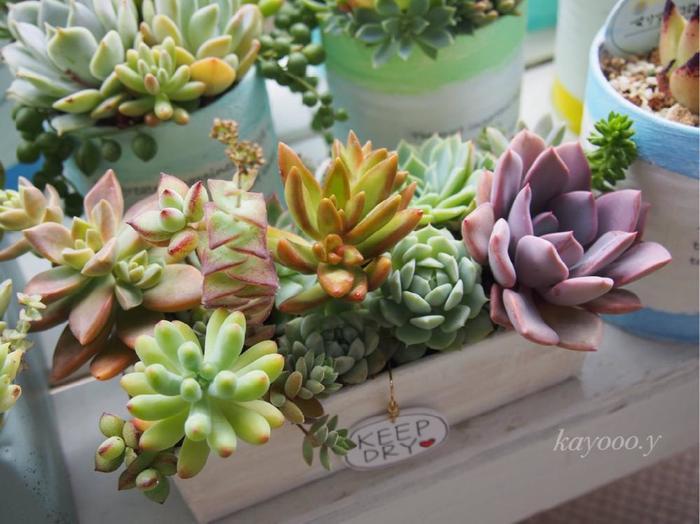 ひとつひとつ飾るのも良いですが、ひとつの入れ物に多肉植物を集めて飾るのも賑やかですね。