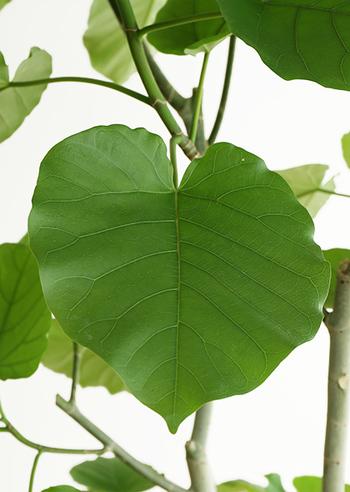 ハート型をした大きな葉と、自由にうねる樹形が印象的な植物です。葉は柔らかく垂れ、大ぶりな樹形ながらも、爽やかで軽い印象を与えてくれます。