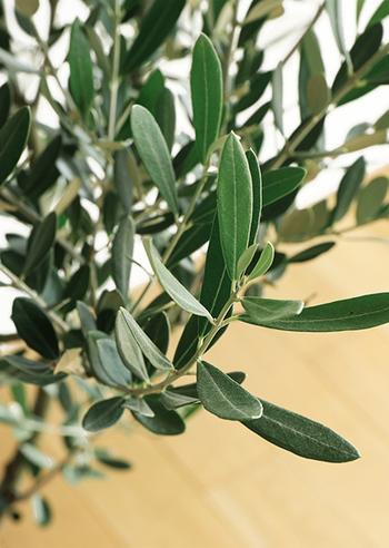 細長い楕円の固い葉が印象的な『オリーブ』。その実は食用としても有名ですが、実をつけるためには風に当たるベランダで育てる必要があります。