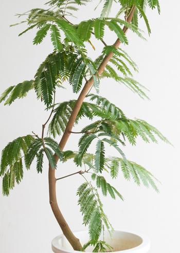 小さな葉が集まって、ひとつの大きな葉を作るような樹形が印象的な植物です。