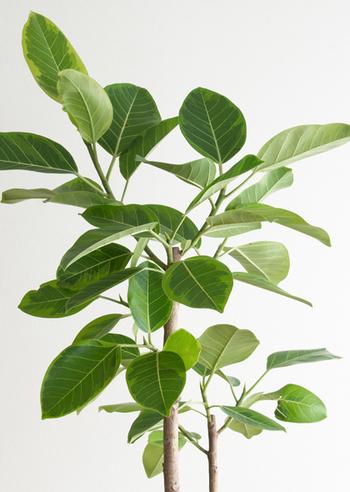 葉はぷっくりと丸く鮮やかなグリーンをしており、幹も太くインパクトがあります。