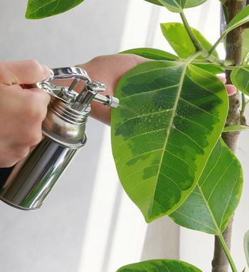 空気が乾燥する室内では、霧吹きで葉に水をかけて乾燥から守ってあげましょう。乾燥から守ることは、害虫対策としても大切です。