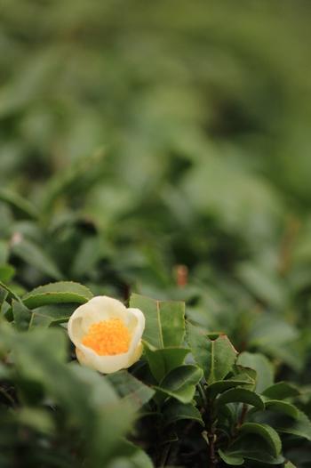 ツバキ科ツバキ属、高さ1mほどの常緑樹。日本茶や紅茶の原料としておなじみ、お茶の木に咲く花。  お茶の原料としては、花を咲かせるのはご法度とされ、皮肉にも、放置されたお茶の木に咲きます。見つける機会は少ないけれど、控えめに開く小さな白い花は、初冬の季語になっています。